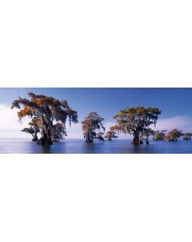 C.T. 1000mcx Bald Cypresses